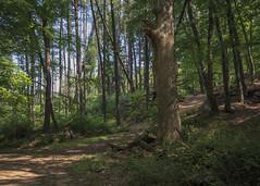 Summer Woods (fmccarthy1) Tags: 1777trail doodletown harrimanstatepark trees foliage bearmountain