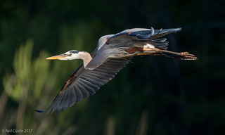 Heron Fly By