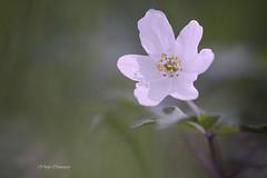 Anémone des bois (vyclem78) Tags: anémonedesbois fleurs fleur floral blanc végégral forêt macro proxy yvetteclemenson nikonfrrance sigma180macro extérieur