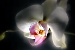 Center Spot Orchid (wordman760) Tags: orchid flash flashphotography flower fleur indoors studio canon xsi digital slr cokin filter centerspot