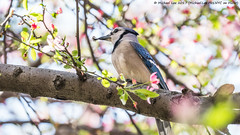 A Tiny Snack (20170416-DSC02316) (Michael.Lee.Pics.NYC) Tags: newyork centralpark conservatorygarden crabapple blossoms flowers bluejay bird feeding hunting bokeh sony a6500 fe70300mmg