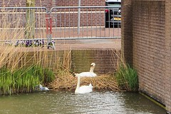 P4152045 (jjs-51) Tags: zwanen broekpolder swans