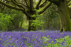 Forest Bluebells (fstop186) Tags: bluebells woods forest secluded mystical magical peace tranquil spring hyacinthoides plant