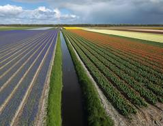 Egmond-Binnen (de kist) Tags: kap thenetherlands nederland egmondbinnen egmond bollenvelden bulbfields bulbs bollen luchtfotografie aerialphotography