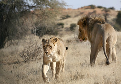 Going separate ways (crafty1tutu (Ann)) Tags: travel holiday 2016 southafrica africa african animal lion lioness kgalagaditransfrontierpark matingpair wild inthewild free roamingfree carnivore crafty1tutu canon5dmkiii ef100400mmf4556lisiiusm anncameron naturethroughthelens
