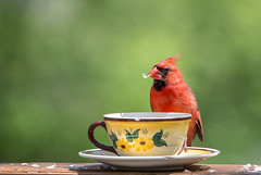 On Grandma's Cup (dshoning) Tags: odc cardinal cup vintage outdoors spring red bird seed eating