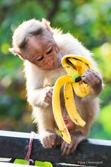 Snack time (vijay_chennupati) Tags: tirumala tirupati monkey banana andhrapradesh india