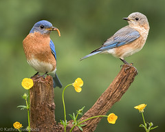 Eastern Bluebird Pair (Kathrin Swoboda) Tags: bluebird spring buttercups worm pair eastern