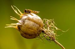 Love-in-a-mist (Elke Bosma) Tags: flower fruit macro 100mm hoverfly loveinamist bokeh green outdoor nature