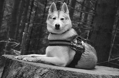 Nanook (Kenny Sharpe) Tags: conichill lochlomond husky harness pineforest nannok