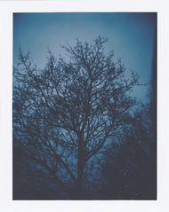 (Chelsie A. Olivieri) Tags: blue tree nature silhouette polaroid treesilhouette instant landcamera instantphotography bluetint polaroidcamera instantfilm peelapart polaroid250 polaroidphotography polaroidpicture