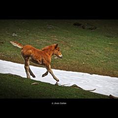 Potrillo a la carrera (Somiedo, Asturias) (Jess Gabn) Tags: horse caballo asturias somiedo jesusgaban