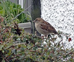 Spar (Bricheno) Tags: bird moulin scotland escocia sparrow housesparrow szkocja pitlochry schottland scozia cosse  esccia   bricheno scoia