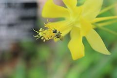 they took me to the gardens (TheJaggedFarrow) Tags: flowers flower yellow bug garden spring texas yellowflower bee bumblebee beeinflower buginflower