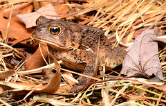 American Toad (nikomelos) Tags: toads toad