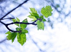 New Leaves (HaleyWilke) Tags: new plants color tree green nature leaves rain outside spring interesting growth