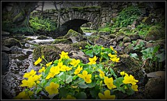 Marsh marigolds (Steven Ruffles) Tags: stream yorkshiredales marshmarigold calthapalustris kingcup britishflora