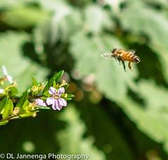 Action photography (Lammert_Jannenga) Tags: flower bees bee honey