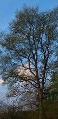 Eiche 25.04.2014 m. L. (bratispixl) Tags: germany bayern oberbayern chiemgau laubbaum traunreut vertikalpanorama laublos