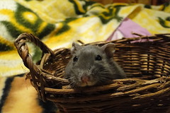Robby in a basket:) (springhawk) Tags: pet robert animal rodent dwarf hamster baratheon kek