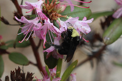 Bombus vosnesenskii. The Rhododendron Species Garden. Federal Way, WA (Megan Asche) Tags: plant color macro nature animal work canon bug hair insect eyes colorful wasp natural legs megan science petal bee busy stamen worker pollen antenna arthropoda scientist entomology entomologist arthropod beekeeper hymenoptera insecta pollenate pollenator asche hexapoda meganasche