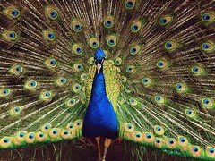 A beautiful peacock shaking his feathers at Winslow Farms in Norton, MA (Judy Signoriello) Tags: blue bird animal animals farm feathers peacock fowl sanctuary winslow