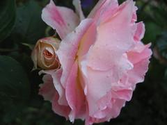 Quanta vita! (mercedesmelis) Tags: flower nature rose garden droplets spring flora natura raindrops fiori photographynofilter