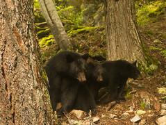 3 bears. (P.A.B.) Tags: trees canada whistler britishcolumbia young mother cubs blackbear dirtywindow coastmountains ursusamericanus iminmyhouse pacificranges nikond800e nikonnikkor2470mmf28afsged