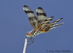 Halloween Pennant (Celithemis eponina) (Paul Hueber) Tags: nature animal insect florida dragonfly wildlife handheld lakecounty odonata anisoptera halloweenpennant celithemiseponina emeraldamarsh