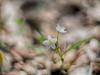 spring wildflower (nosha) Tags: usa flower green nature beautiful beauty spring pennsylvania dream wilderness wildflower preserve bowman f12 nosha
