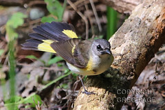 American Redstart (gregpage1465) Tags: galveston bird nature photography photo texas greg cove wildlife picture american page warbler redstart lafittes americanredstart setophagaruticilla gregpage