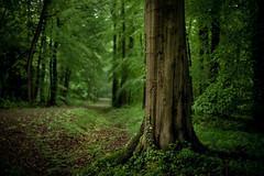 Cats And Dogs (derScheuch) Tags: tree green wet rain forest germany 50mm dof minolta sony trunk grn alpha wald baum regen 900 oldenburg badweather nass stamm niedersachsen lowersaxony wildenloh