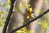 _53F8289 Blackburnian Warbler (~ Michaela Sagatova ~) Tags: songbird woodwarbler blackburnianwarbler dendroicafusca orangebird dvca michaelafotheringham michaelasagatova