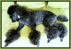 Beauty at Rest........Explore (Midnight and me) Tags: green beauty couch explore poodle midnight bracelets beautifuldog standardpoodle blackstandardpoodle midnightandme poodlebracelets beautifulstandardpoodle poodlerelaxing beautyatrest