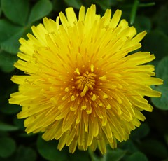 Spring Dandelion (Thank You Please Photography) Tags: summer flower detail macro nature yellow petals spring weed dandelion