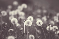 Most of the dandelions had changed from suns into moons (Squatbetty) Tags: summer clock happy spring pretty meadow dandelion dandelionclocks