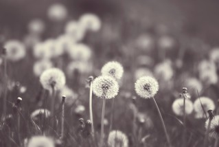 Most of the dandelions had changed from suns into moons