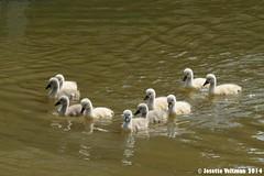 IMG_9300a (Josette Veltman) Tags: swan swans zwaan zwanen littleswans