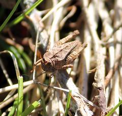 Slender Groundhopper Tetrix subulata