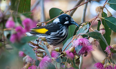 New Holland Honeyeater (Phylidonyris novaehollandiae)-1 (rawshorty) Tags: birds australia canberra act jerrabomberrawetlands rawshorty
