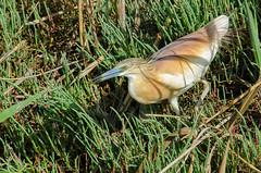 Catching (Jokermanssx) Tags: sardegna molentargius stagno quartuse sgarzaaciuffetto