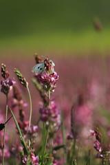 Fioritura pian grande (PGB71) Tags: grande natura di fiori della colori umbria margherita spettacolo norcia castelluccio pian fioritura lenticchia
