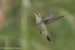 Glittering-bellied Emerald, besourinho-de-bico-vermelho (eisenrupp) Tags: minas gerais birding aves da brazilian cerrado serra canastra merganser patomergulhão