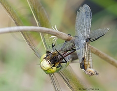 Emperor devouring Black Darter (Crazybittern1) Tags: dragonflies insects emperor sigma70300mmmacro foulshawmoss nikond7000 cumbriawildlifetrust