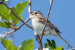 Clay colored sparow (Glen & Laurene Stanley-Turner Outdoors) Tags: birds canadian clay sparrow colored birdwatcher birdphotography glenstanleyturnerprofessionalcorp