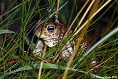 DS0D1124-Natterjack-Toad (duncancooke.happydayz) Tags: uk wildlife amphibian toad british amphibians natterjack
