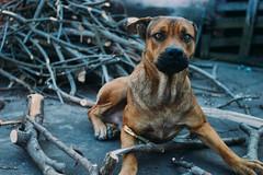 Scared! (LeoMoyano) Tags: dog branch scared mastweiler vscofilm