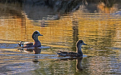 Duck Duo (DCZwick) Tags: lake canada calgary bird water duck alberta sigma150500 pentaxart pentaxk3