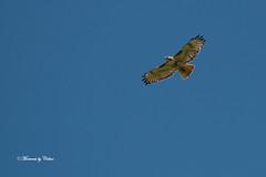 Red-tailed hawk (Canon Queen Rocks (1,000,000 + views)) Tags: wild sky nature birds flying wings wildlife beak feathers soaring markings avian birdsofprey hawks redtailedhawk
