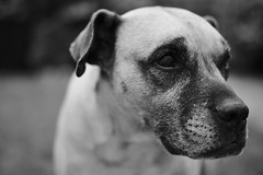 Cara (will668) Tags: blackandwhite bw dog pet pets animal nose canine whiskers doggy dogface snout portraitofadog